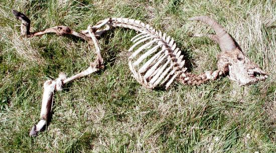 Huesos de una cabra